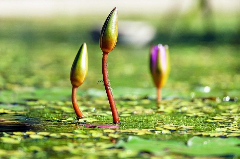 Water lilies | Vien Systems